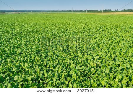 Bright green sugar beet field before crop harvesting at sunny summer day
