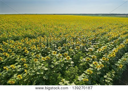 Large field of yellow sunflowers and sky on bright sunny summer day
