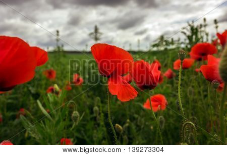 bud wild poppy flower in a field with grasses