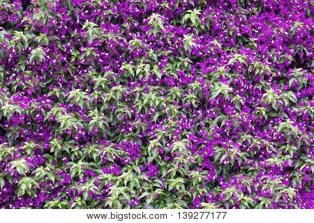 Background image of a wall full of Bougainvillea flowers.
