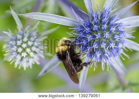 Bumble bee feeding on the nectar of a blue globe thistle