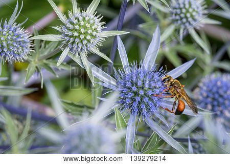 Wasp feeding on the nectar of a blue globe thistle
