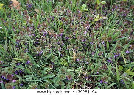 Ground ivy (Glechoma hederacea), often called Creeping Charlie, blooms during May in the Copley Nature Park of Plainfield, Illinois.