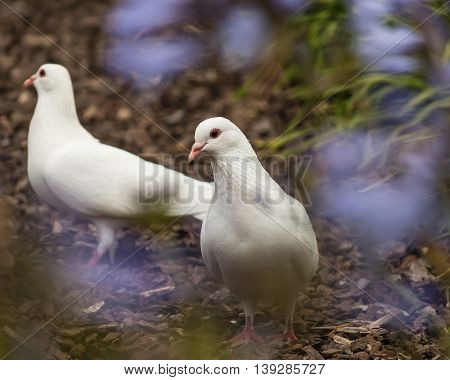 closeup of two white doves in garden