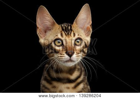 Closeup Portrait of Young Bengal Kitty on Isolated Black Background, Side view