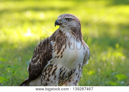 Red Tailed Hawk surveys its beautiful land