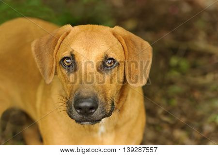 Curious dog is a big brown dog looking up in a beautiful outdoor nature setting.