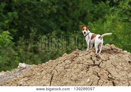 Jack Russell terrier dog is on a heap of earth