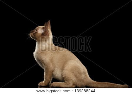 Cute Burma Kitty Sitting and Looking up, Isolated Black Background, Side view