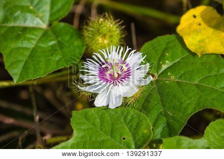 Fetid Passionflower In Forest