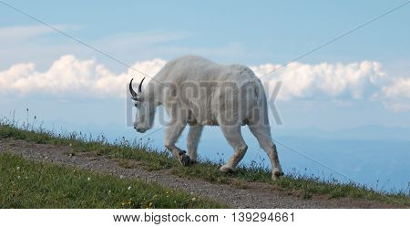 Male Billy Goat on Hurricane Ridge / Hill in Olympic National Park in Washington USA