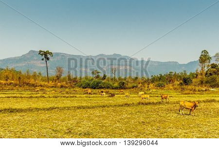Cows graze in a yellow field as a huge plateau looms in the distance in the Laos countryside