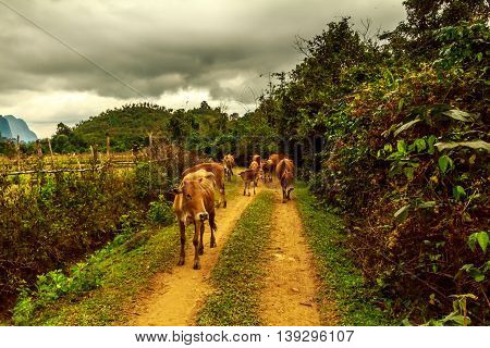 The cows are coming home in the green countryside of Laos on a stormy day
