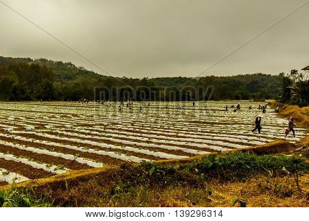 Many farmers working in a field in the countryside of Laos on an overcast day