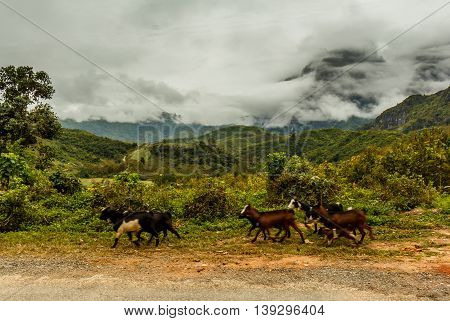 Goats run along a road in the green mountains of Laos on a stormy day