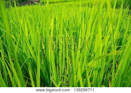 The Green Rice Field Or Paddy Field In Thailand.