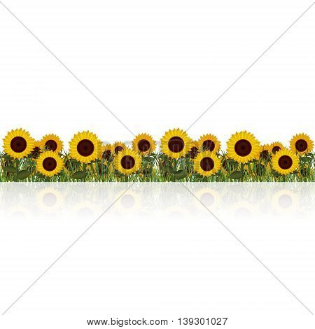 lawn with sunflower and grass on a white background