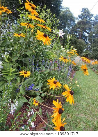 Black eyed susans growing in a garden