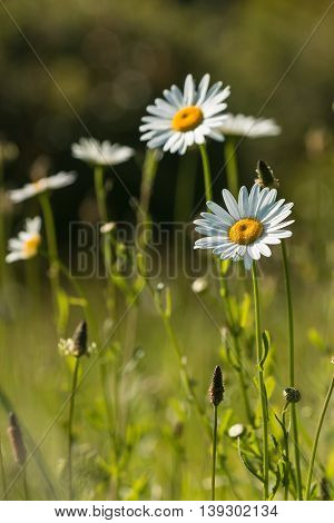 close up of isolated daisy flowers on meadow