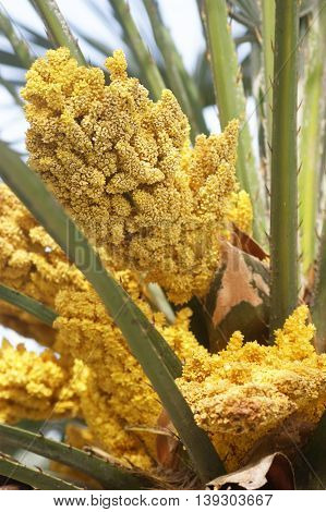 Inflorescence palm Trachycarpus with small yellow flowers