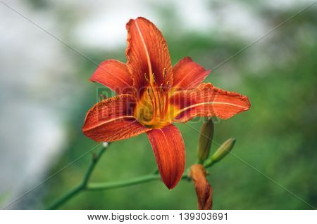 Opened a bright orange daylily flower on blurred green background
