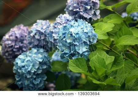 Hydrangea shrub with lilac and bright blue inflorescences