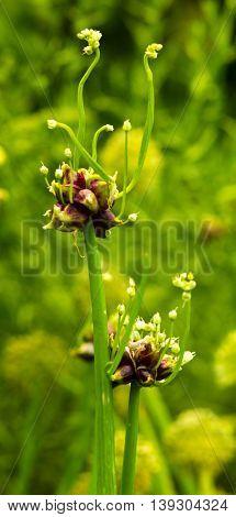 onion stalks vegetable natural organic bloom herb