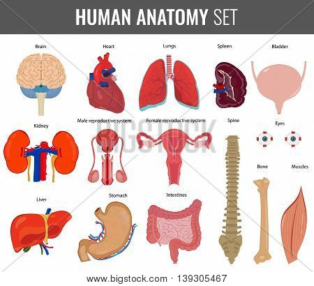 Human internal organs. Anatomy set. Vector icons