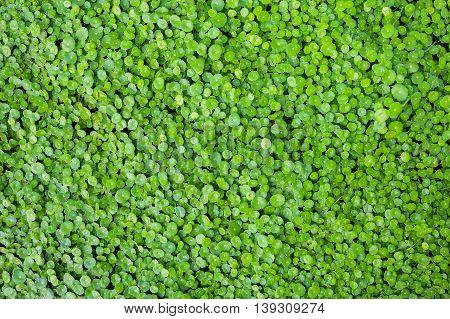 Group of Shield Pennywort, Gotu kola , green nature background