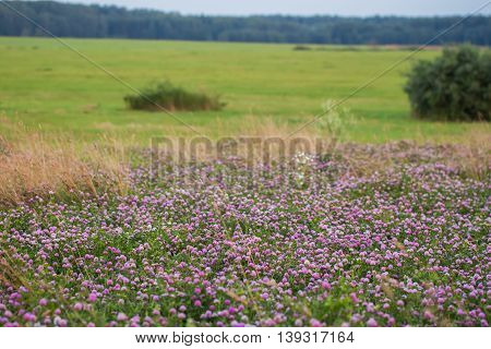 Summer background of nature : gorgeous sunny day, meadow with blooming wild bright clover, in the distance is a forest. Focus on clover