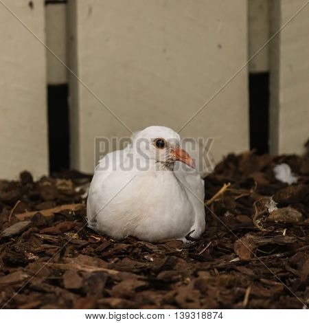 close up of white dove nesting on ground