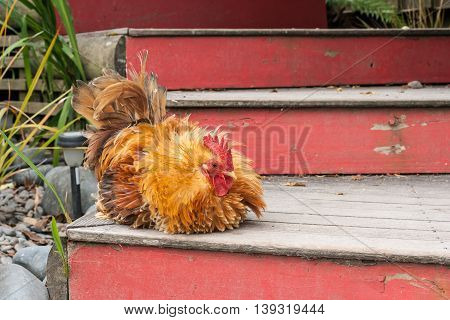closeup of pekin rooster sitting on stairs