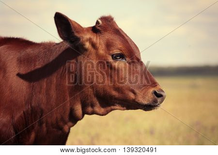 Calf in a meadow