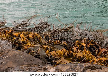 close up of giant seaweed growing on rocks