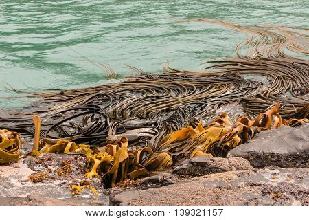 close up of giant kelp floating in sea