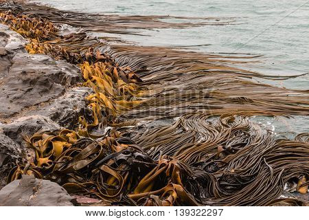 close up of giant kelp growing on rocks
