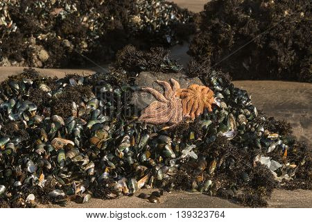 orange reef starfish with green-lipped mussels at low tide