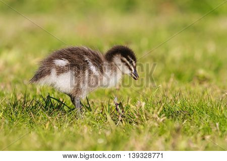 close up of duckling standing on meadow