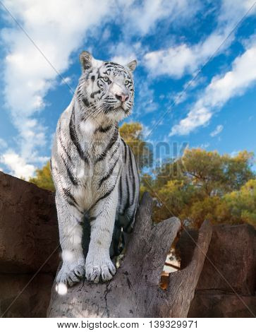 big white Bengal tiger closeup in nature