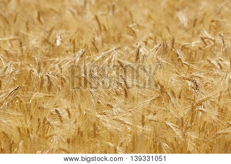Wheat spikes in the countryside. Agriculture background landscape. Horizontal