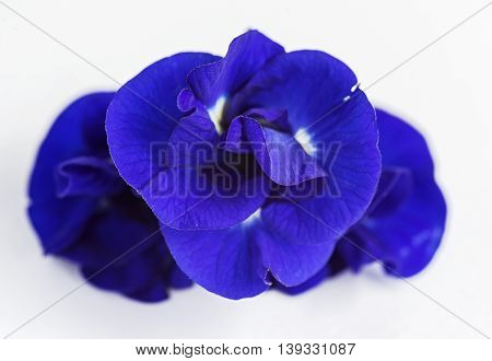Butterfly Pea flower on white background. (Selective Focus)