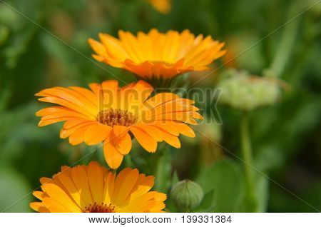 Marigold Calendula Officinalis Orange Flower Closeup