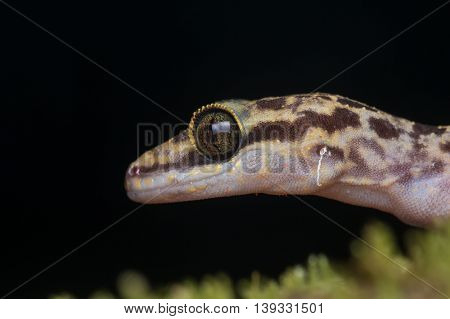 Lizard , Cute Lizard , Close-up of Lizard , Lizard of Borneo , Gecko, Close-Up Gecko