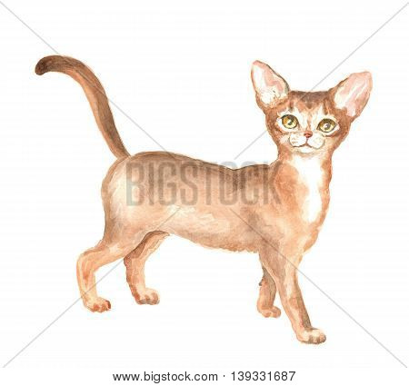 the Abyssinian kitty. Image of a thoroughbred cat. Watercolor painting.