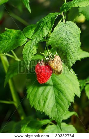 closeup of the ripe and unripe raspberry in the fruit garden. Growing natural bush of raspberry. Branch of raspberry in sunlight