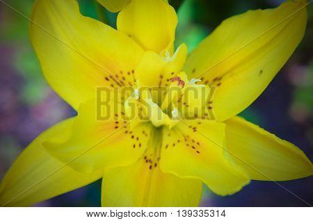 Beautiful Yellow Lily Flower Close-up