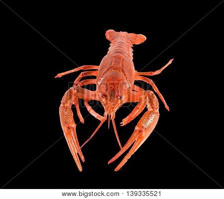 Red lobster crayfish on black background closeup