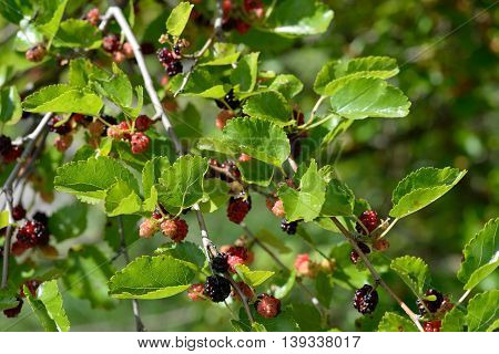 Branches with ripe and unripe fruit of mulberry