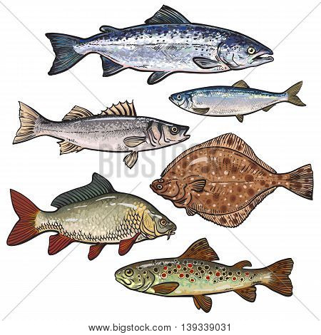 Sketch style sea fish collection, illustration isolated on white background. Set of colorful realistic sketches of edible sea fish. Tuna herring sea bass flatfish perch carp