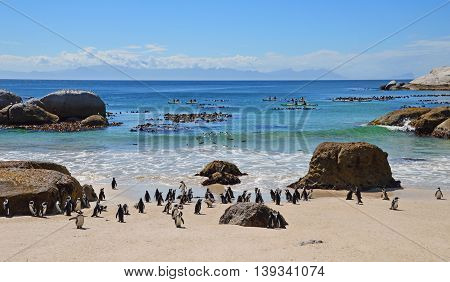 A group of African Penguins on the beach at Boulder's Beach Penguin Colony South Africa